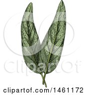 Clipart Of Sketched Sage Leaves Royalty Free Vector Illustration