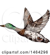 Clipart Of A Sketched Flying Mallard Duck Royalty Free Vector Illustration