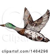 Poster, Art Print Of Sketched Flying Mallard Duck