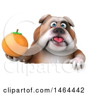 Clipart Of A 3d Bill Bulldog Mascot Holding An Orange On A White Background Royalty Free Illustration