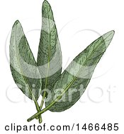 Clipart Of A Sketched Herb Sage Leaves Royalty Free Vector Illustration