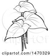 Black And White Anthurium Flowers