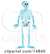 Blue Human Skeleton Standing Upright Clipart Illustration