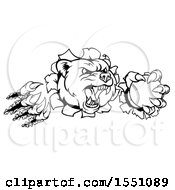 Clipart Of A Black And White Vicious Aggressive Bear Mascot Slashing Through A Wall With A Baseball In A Paw Royalty Free Vector Illustration