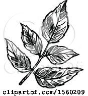 Clipart Of Black And White Sketched Angelica Royalty Free Vector Illustration