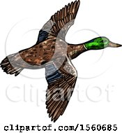 Sketched Flying Mallard Duck
