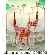 Group Or Herd Of Giraffes