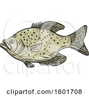 Sketched Crappie Fish Mascot