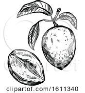 Sketched Sapodilla Tropical Exotic Fruit