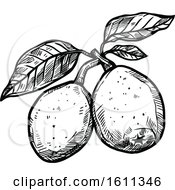 Sketched Marula Tropical Exotic Fruit
