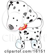 Cute White And Black Spotted Dalmation Puppy Dog Wearing A Red Collar With Yellow Spots Slightly Tilting His Head In Curiousity by Maria Bell