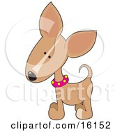Cute Little Tan Chihuahua Puppy Dog Wearing A Pink Collar With Yellow Spots Tilting His Head In Curiousity