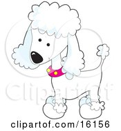Cute White Poodle Puppy Dog Wearing A Pink Collar With Yellow Spots And Sporting A Puppy Clip by Maria Bell