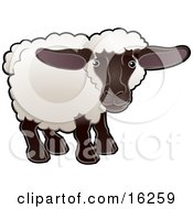 Adorable Female Sheep An Ewe With White Fleece A Black Face And Legs