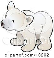 Curious White Arctic Polar Bear Cub Ursus Maritimus