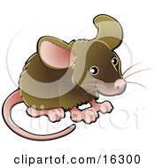 Little Brown Pet Mouse With A Pink Nose Ears Feet And Tail