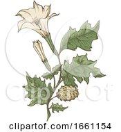 Datura Stramonium Jimson Weed Plant