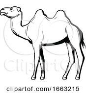 Black And White Egyptian Camel