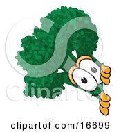 Green Broccoli Food Mascot Cartoon Character Peeking Around A Corner
