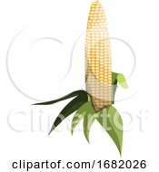 Light Yellow Sweet Corn Cob With Green Leafs