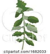 Green Ruccola Leaf