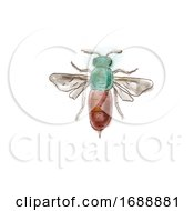 Poster, Art Print Of Ruby Tailed Wasp Drawing