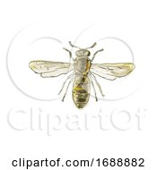 Poster, Art Print Of Spanish Pollen Wasp Drawing