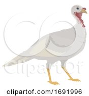 Poster, Art Print Of White Turkey