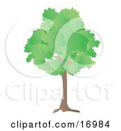 Oak Tree With Green Spring Or Summer Foliage Leaves