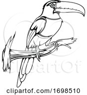 Perched Aracari Toucan