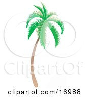 Coconut Palm Tree With Green Foliage Curving Slightly And Leaning Towards The Right
