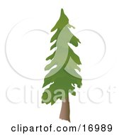 Tall Evergreen Pine Tree