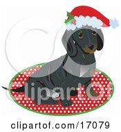 Cute Little Dachshund Puppy Dog Wearing A Santa Hat And Sitting On A Rug After Being Given As A Gift On Christmas