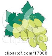 Bunch Of Freshly Picked Green Or White Grapes With Leaves Attached To The Stem