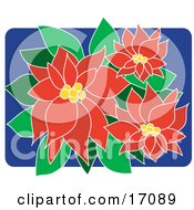 Beautiful Red Blooms On A Christmas Poinsettia Plant Clipart Illustration