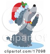 Happy Gray Poodle Puppy Dog Wearing A Santa Hat And Red Collar Sitting And Reaching Out A Paw After Being Given As A Gift On Christmas Clipart Illustration by Maria Bell