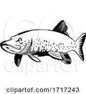 Northern Pike Jackfish