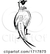 Ring Necked Pheasant Or Common Pheasant Viewed From Rear Retro Black And White
