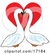 Pair Of Mute Swans Face To Face Gazing At Eachother In Front Of A Red Valentines Day Heart