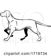 Hungarian Or Magyar Vizsla Pointer Dog Walking Stalking Side View Retro Black And White