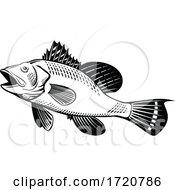 Black Sea Bass Centropristis Striata Swimming Up Side Retro Woodcut Black And White