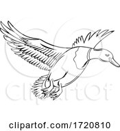 Male Bird Or Drake Mallard That Is A Dabbling Duck Flying Up Retro Black And White Style