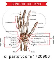 Poster, Art Print Of Bones Of The Hand