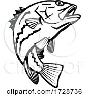 West Australian Dhufish Glaucosoma Hebraicum Westralian Jewfish Or West Australian Pearl Perch Jumping Mascot Black And White