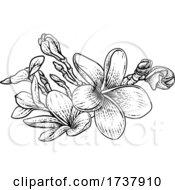 02/27/2021 - Plumeria Frangipani Tropical Bali Flower Drawing
