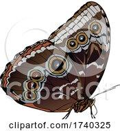 Brown Buckeye Butterfly