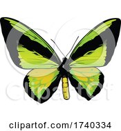 Male Ornithoptera Goliath Butterfly