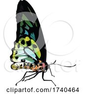 Ornithoptera Richmondia Butterfly