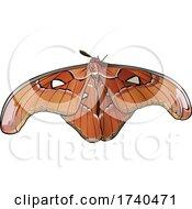 Attacus Lorguini Moth