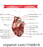 Poster, Art Print Of Human Heart Anatomy